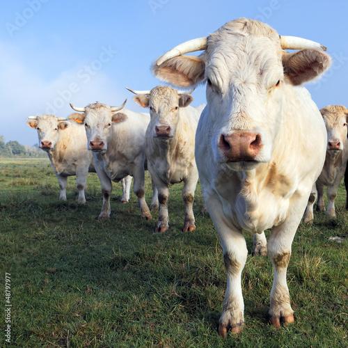 cows square