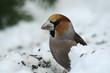 Kernbeißer im Schnee