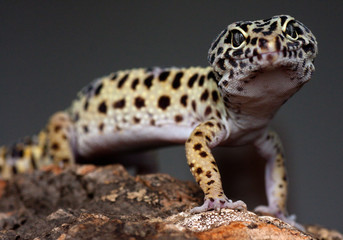 leopard gecko on a bark