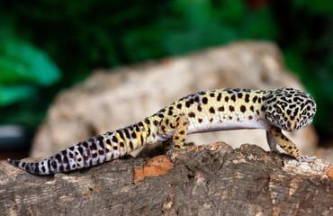 leopard gecko on a bark
