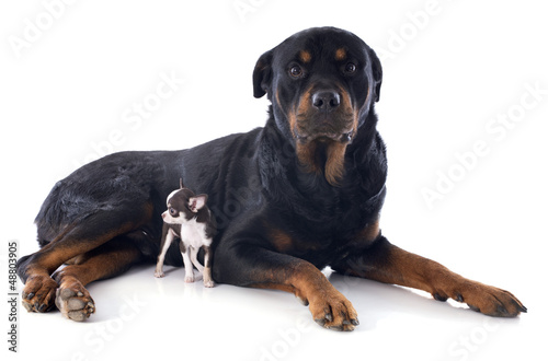 rottweiler and puppy chihuahua