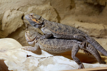 Bearded dragon couple in love