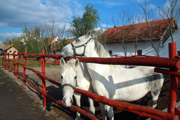 White horses on the farm