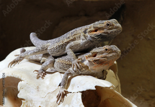Bearded dragon couple
