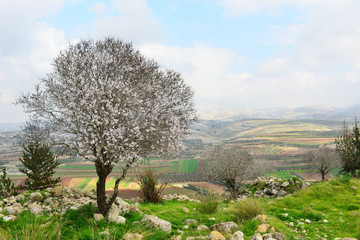 Wild almond tree in beautiful scenery