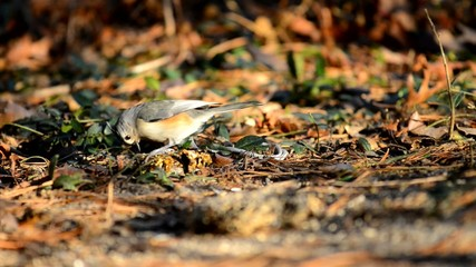 Tufted titmouse bird feeding in warm evening light.