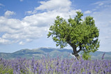 Lavender field in Provence. France.