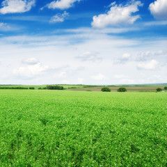 Pea field and blue sky