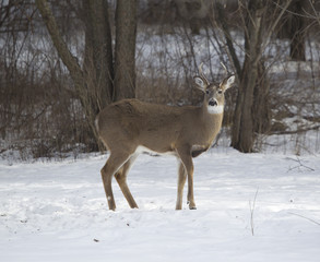 Three Point Buck Standing Broadside