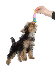 Yorkshire terrier playing with toy. isolated on white