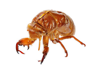 Exuviae of a Cicada