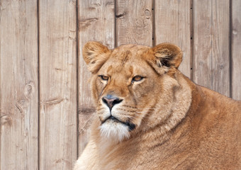 Portrait of a lioness (P. Leo)