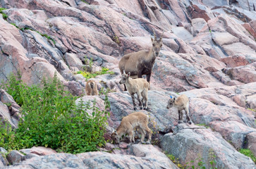 Alpine ibex (Capra Ibex) with kids