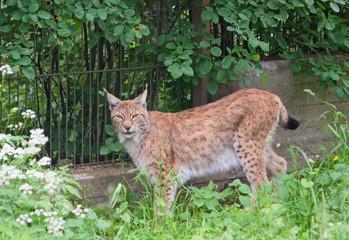 Eurasian lynx (L. Lynx)