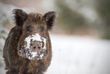 Wild boar with snow on snout poster