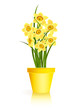 Spring Gardening. Yellow narcissus flowers in pot on white