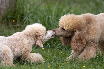 Poodle dogs playing in the grass