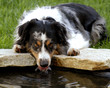 Australian Shepherd Getting A Drink