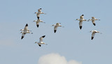 avocets flight flying in the sky