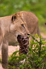 Lioness with giraffe kill in its mouth