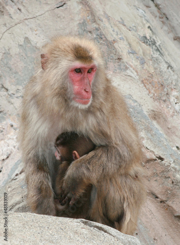 Japanese Macaque Snow Monkey Mother with Baby