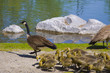 Geese and 4 day old gooslings swimming in pond