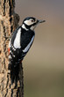Great spotted woodpecker (Dendrocopos major) on tree