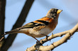 Brambling on brach
