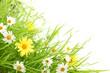 Fototapeten,blume,gänseblümchen,gras,grün