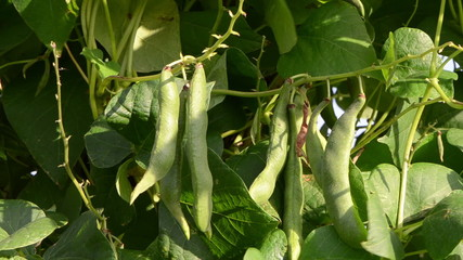 closeup green bean pod string leaves move wind garden
