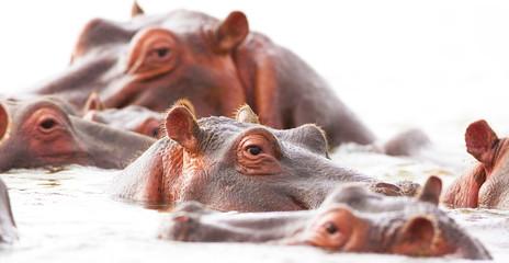 hippopotamuses bathe