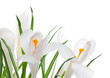 white crocuses