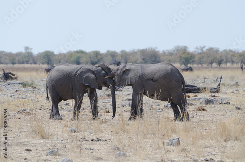 Young African elephants (Loxodonta africana) playing