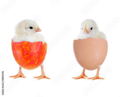 Zwei Küken im Ei