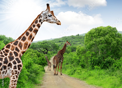 Giraffes in Kruger park South Africa