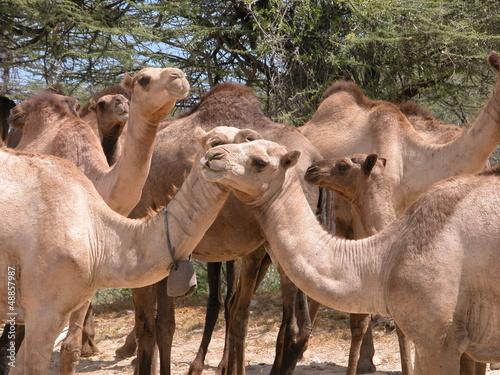 Troupeau chameaux Kenya