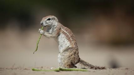 Ground squirrel feeding, Kalahari desert