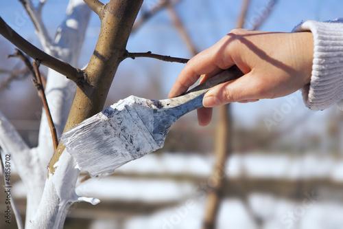 art whitewash apple tree trunk in the garden - 48858702