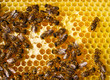 Work of the bees in hive