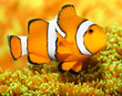 Tropical reef fish - Clownfish (Amphiprion ocellaris).