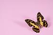 Lime Butterfly – Papilio Demoleus – echter Schmetterling
