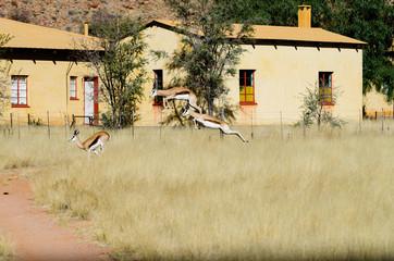 Pronking springboks (Antidorcas marsupialis)