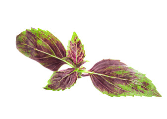 Red basil leaf