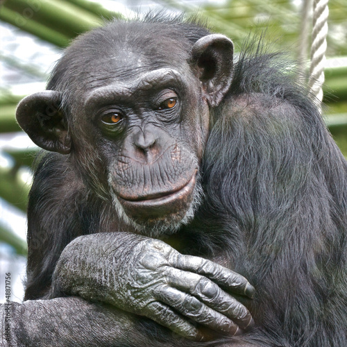 Sad Chimpanzee thinking about his life