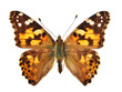 canvas print picture - The Painted Lady (Vanessa cardui)