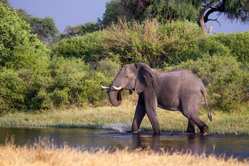 Elefant in the river