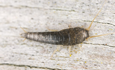 Silverfish or fishmoth sitting on wood, extreme close up