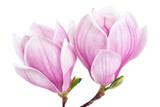 Zwei Magnolienblüten auf weiß