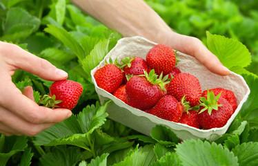 Perfekte Erdbeeren frisch vom Strauch