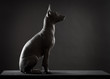 Mexican hairless xoloitzcuintle dog